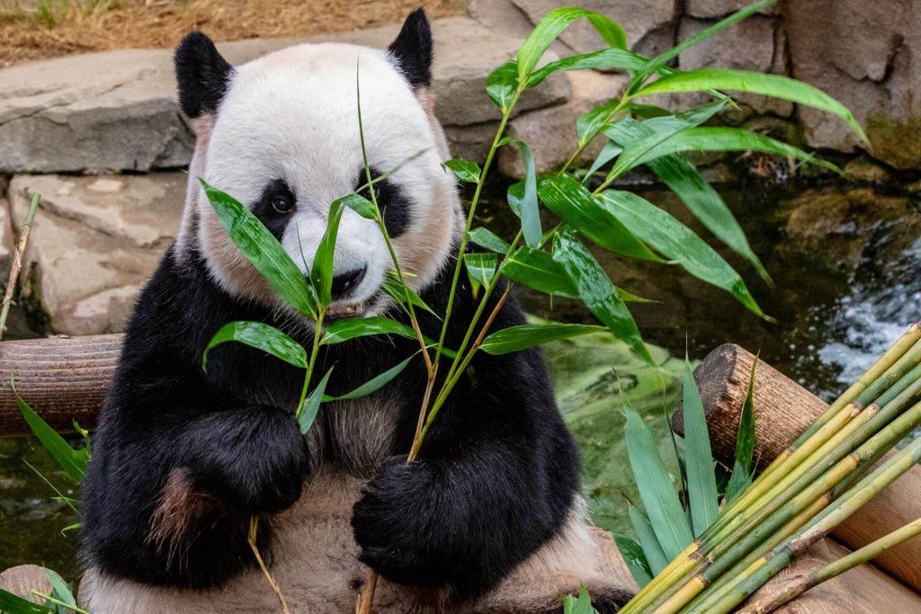 a panda eating bamboo shoots